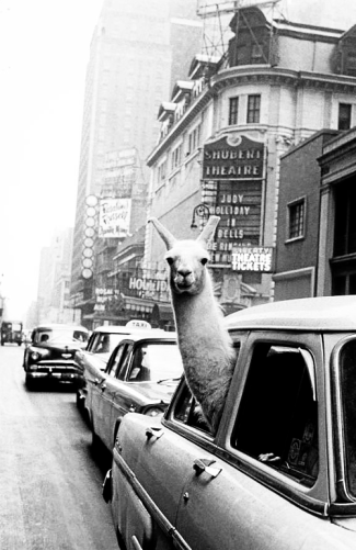 Un lama in Times Square, 1957