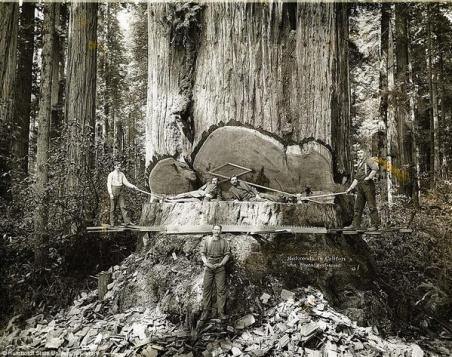 Bboscaioli provenienti da Humboldt County, California. 1900