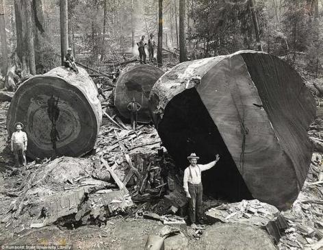Taglialegna lavorano sul taglio degli alberi di sequoia in California