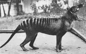 L'ultima tigre della Tasmania fotografata nel 1933. Questa specie è ormai estinta