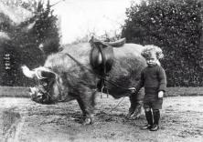 Cavalcatore di maiali, 1930