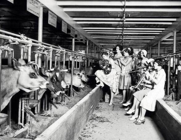 Una banda musicale fa la serenata alle mucche per verificare scientificamente se la musica influenza la quantità di latte, 1930