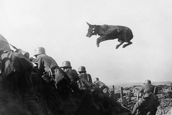 Un cane da spedizione tedesco porta messaggi alla prima linea durante una offensiva tedesca, gennaio 1918