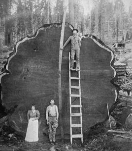 Una sequoia gigante in California, primi del 20esimo secolo