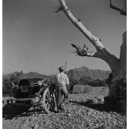 Suschitzky - Trasporto di un fusto di DDT su un carro a buoi, 1950