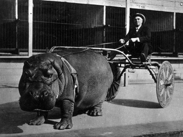 Il tentativo fallito di metter su corse con ippopotami