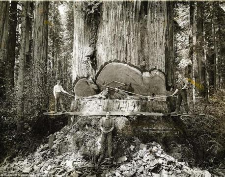 Boscaioli lavorano tra le sequoie della California, 1915. Fotografia di AW Ericson