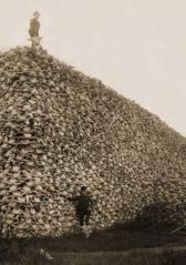 1800. Ai comandanti militari fu ordinato di uccidere i bufali per ai negare nativi americani la loro fonte di cibo