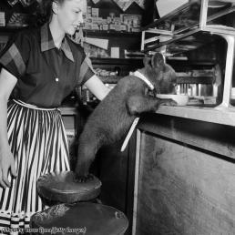 Una cameriera guarda un cucciolo di orso mentre beve una ciotola di miele in un caffè, 1950