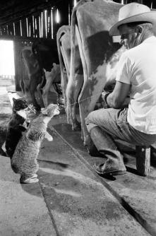 Blackie & Brownie elemosinano latte in un caseificio. Foto di Nat Farbman, 1954