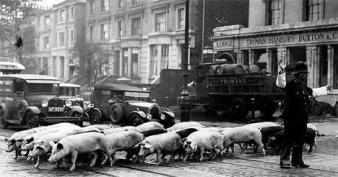 Maiali che attraversano Camden Road, Londra, agosto 1935