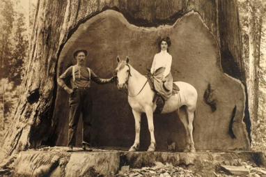Dimostrazione di quanto sia grande una sequoia gigante, circa 1900