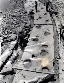 Tracce di dinosauri nel sedimento roccioso preistorico vengono rimosse dal letto del fiume Paluxy in Texas, 1952
