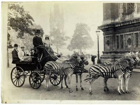 Anche se è raro, alcune zebre hanno risposto bene all'addomesticazione