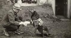 Un soldato alleato benda la zampa di un cane della Croce Rossa in Belgio durante la prima guerra mondiale, maggio 1917