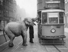 Un elefante ferma un tram su Gray Inn Road, Londra, per mangiare una mela dall'autista. dicembre 1936
