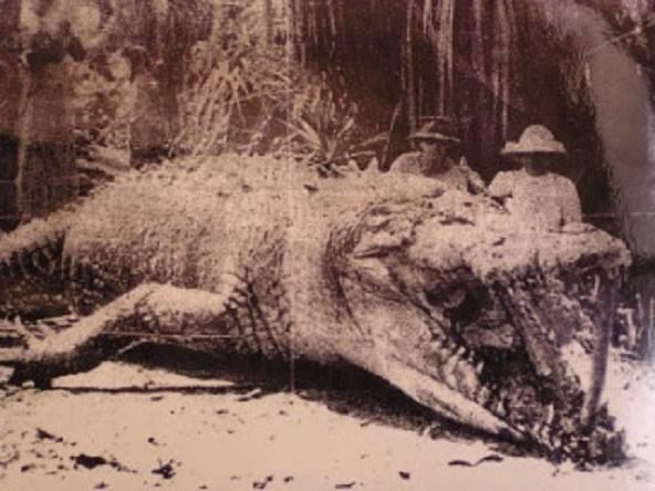 Coccodrillo che misura 28 piedi. Foto scattata da un cacciatore nel Queensland, in Australia nel 1957