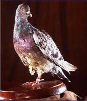 Prima guerra mondiale: un piccione viaggiatore salvò 194 uomini volando dopo aver perso una gamba, un occhio ed essendo stato colpito al petto