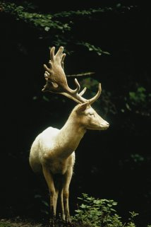 Un cervo bianco in una foresta in Svizzera, 1973. Fotografia di James P. Blair, National Geographic Creative