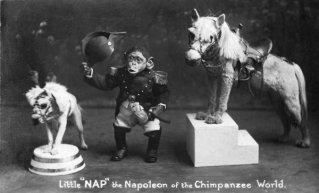 'Sonnellino', il Napoleone del mondo scimpanzé, intorno al 1921