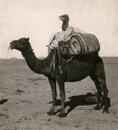 Un cammello su un cammello nel Western Australia, 1916. Fotografia di C.P. Scott