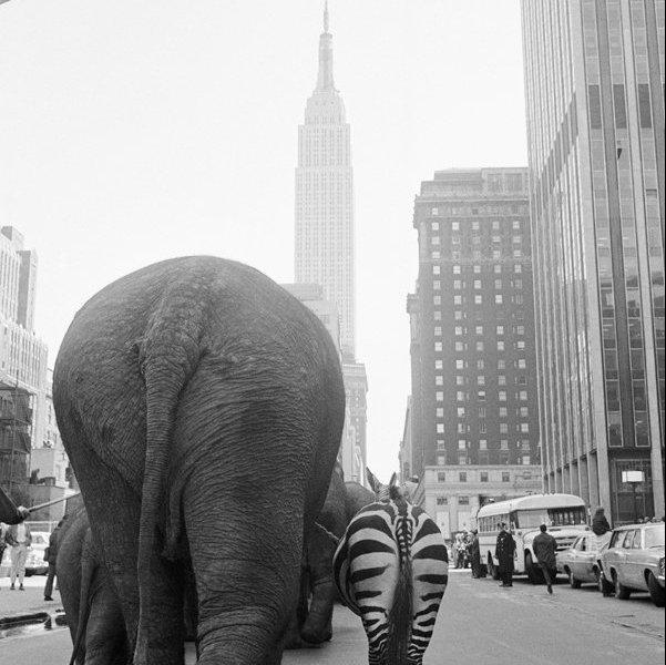 Una troupe di elefanti e una zebra a piedi lungo 33rd Street a Manhattan 1968
