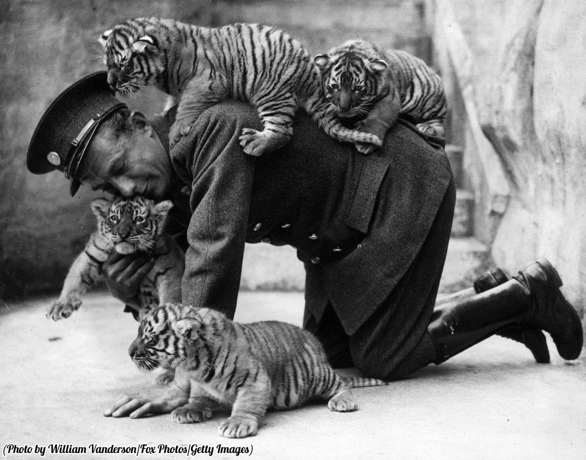 Cuccioli di tigre di 8 settimane al Whipsnade Zoo, 1937