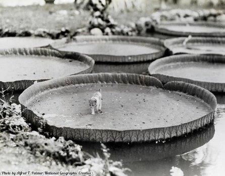 Un gattino cammina su una ninfea nelle Filippine, 1935