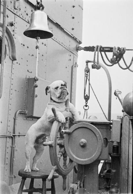 Un bulldog di nome Venus al timone della HMS Vansittart, un cacciatorpediniere inglese, c. 1941