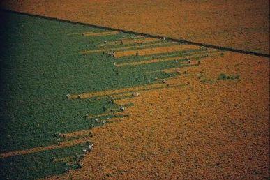 Un campo si trasforma da arancione a verde mentre i mietitori raccolgono fiori di calendula a Los Mochis, Messico. 1967. Foto di W.E Gar