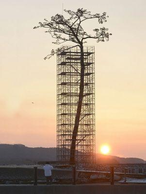 Il miracolo del pino - L'unico albero sopravvissuto allo tsunami giapponese del 2011 è stato trasformato in monumento Rikuzentakata, Iwate, Giappone