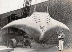 """La """"Grande Manta"""" catturata dal capitano A.L. Kahn il 26 ago 1933"""
