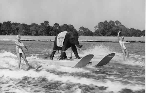 Queenie, l'unico elefante al mondo sciatore sull'acqua, 1950