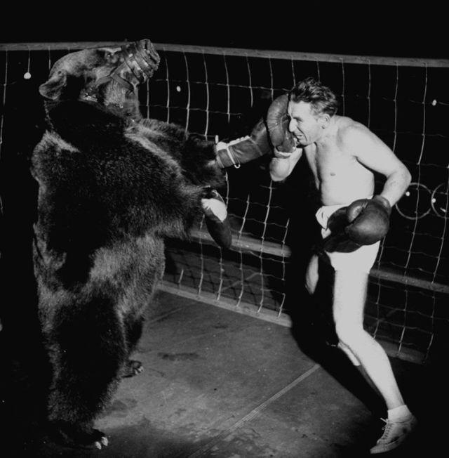 Il boxer Gus Waldorf contro un orso. Ha perso la partita, ma ha guadagnato la vita. 1949
