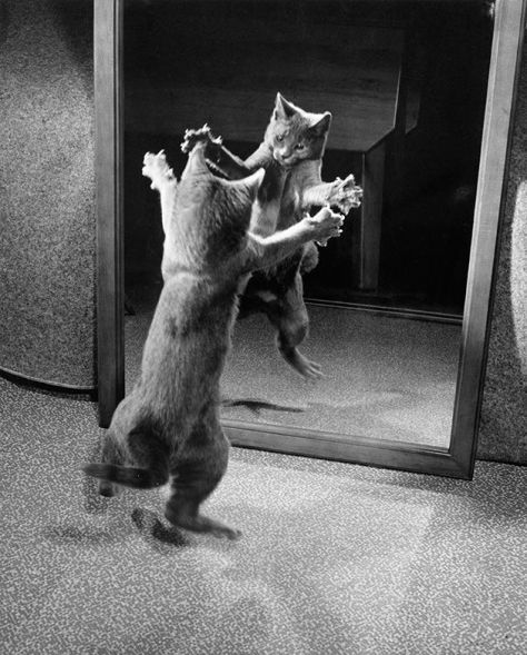 Un gattino attacca il proprio riflesso allo specchio, 1964