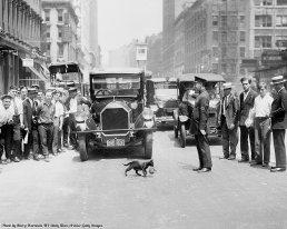 Traffico bloccato per far passare un gatto Blackie e il suo gattino. Fotografia di Harry Warnecke, 1925