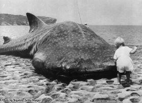 Un bambino guarda da vicino uno squalo balena gigante sulla baia di Botany, nel 1965