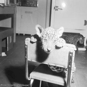 Audizione di un giovane giaguaro per la parte che fu data al leone MGM, 1917