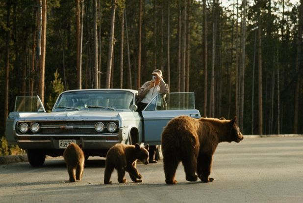 Un visitatore di un parco filma un orso nero americano e i suoi due cuccioli a Yellowstone, dicembre 1965