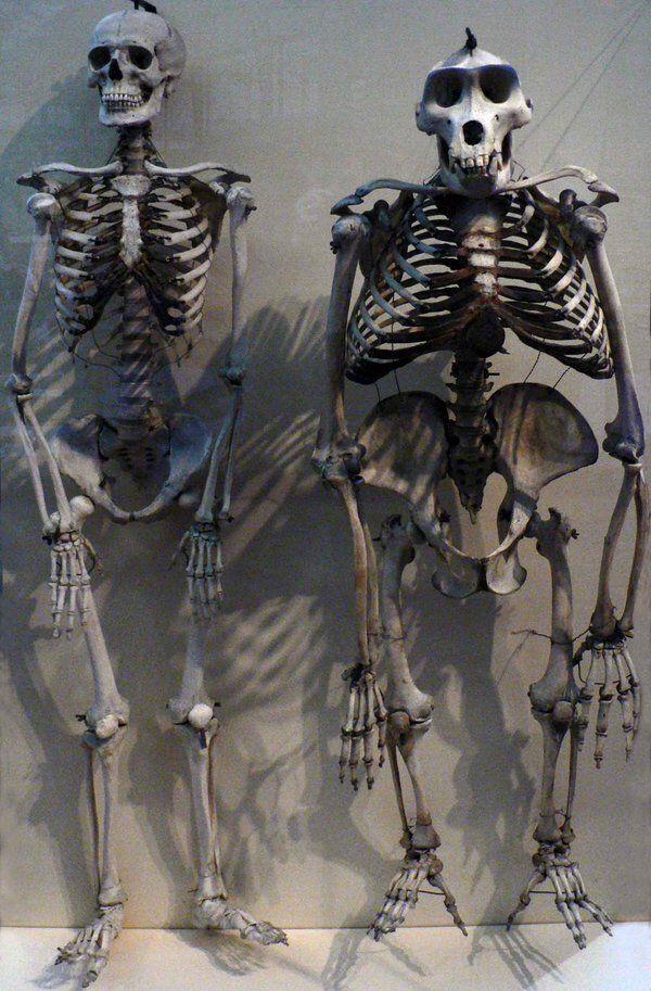Uno scheletro umano e uno di gorilla messi a fianco