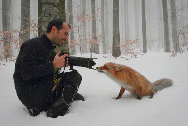 Primo piano di una volpe