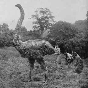 Moa era un'enorme specie di uccello incapace di volare originario della Nuova Zelanda. Poteva raggiungere un'altezza di quasi 4 metri e pesare 230 kg