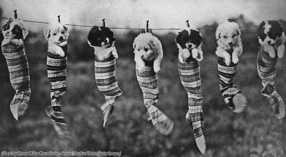 Sette cuccioli in calzini appesi a un filo per stendere, 1929