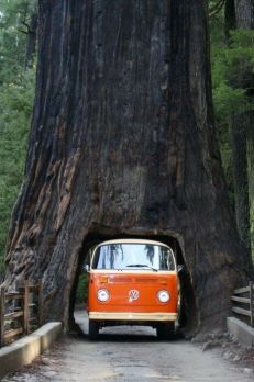 Tunnel dentro l'albero, Sequoia National Forest, California