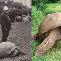 Jonathan la tartaruga nell'anno 1900 e oggi