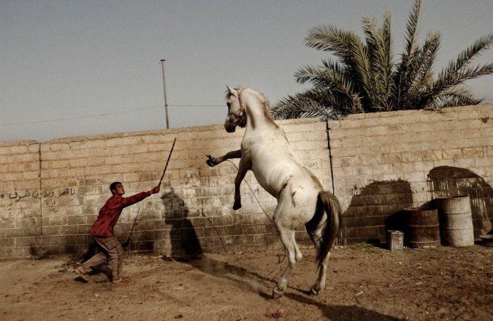 Baghdad, Iraq. Luglio 2004. Un uomo cerca di domare un cavallo arabo saccheggiato da uno dei palazzi di Saddam Hussie a Baghdad