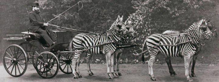 Walter Rothschild nella sua carrozza zebrata