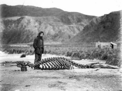 Sea Elephant Skeleton e Harold Hamilton. Fotografia di Frank Hurley