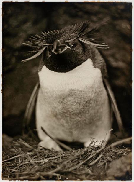 Pinguino. Fotografia di Frank Hurley