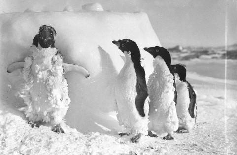 Pinguini di Adelia ricoperti di ghiaccio dopo una tempesta di neve a Cape Denison. Fotografia di Frank Hurley